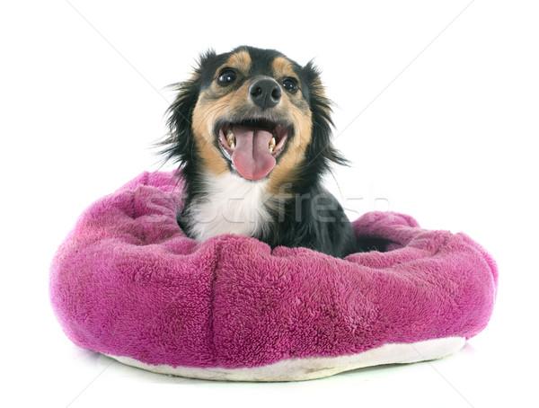 Mixed-Breed dog Stock photo © cynoclub