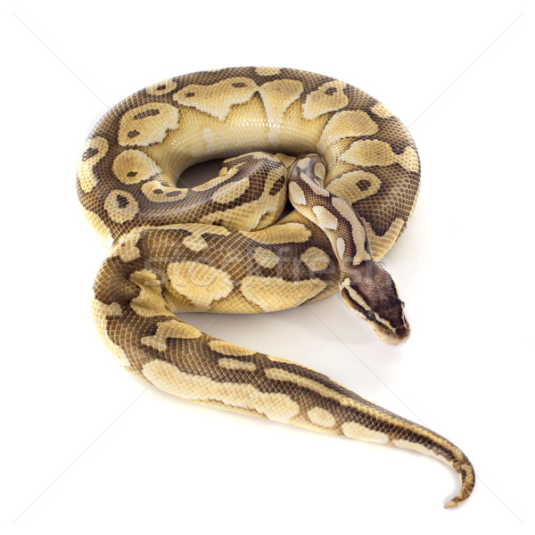 Jaune python serpent studio Photo stock © cynoclub