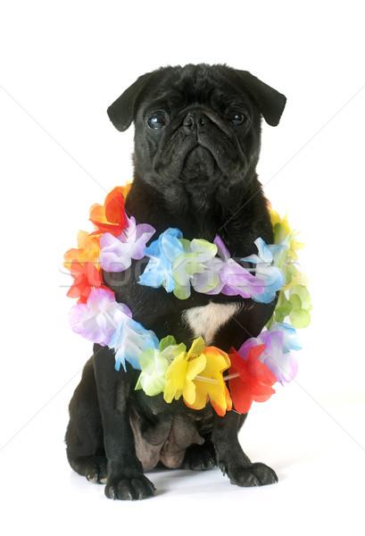 black pug and flower collar Stock photo © cynoclub