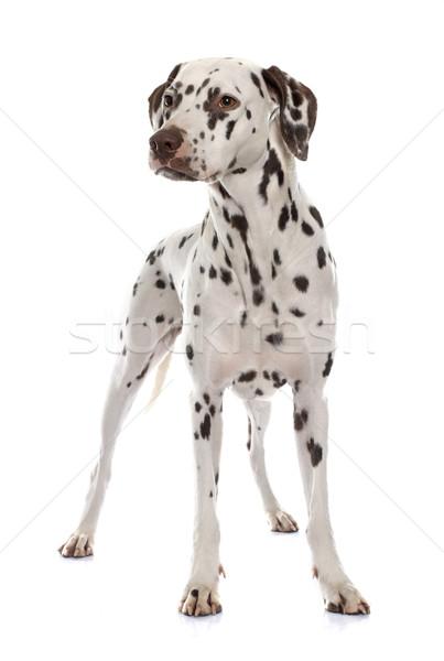 young female dalmatian Stock photo © cynoclub