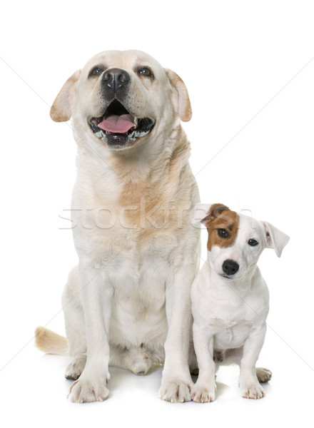 male labrador retriever and jack russel terrier Stock photo © cynoclub