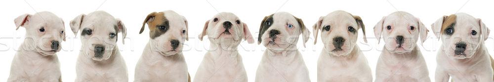 щенки Американский бульдог белый группа голову щенков Сток-фото © cynoclub