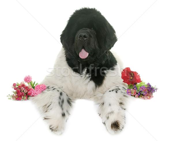 черно белые Ньюфаундленд собака белый цветок Сток-фото © cynoclub