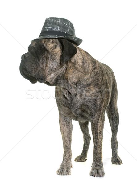 牛 マスチフ 帽子 白 犬 楽しい ストックフォト © cynoclub