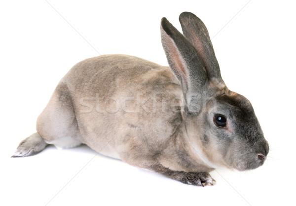 zibeline Rex rabbit  Stock photo © cynoclub