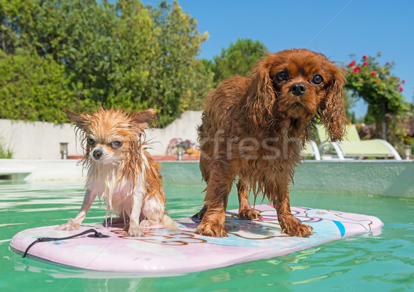 chihuahua, cavalier king charles and swimming pool Stock photo © cynoclub