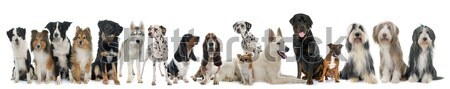 group of dogs  and cats Stock photo © cynoclub