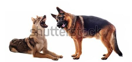 Iki öfkeli köpekler dişler hayvan Stok fotoğraf © cynoclub