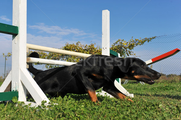 puppy beauceron in agility Stock photo © cynoclub