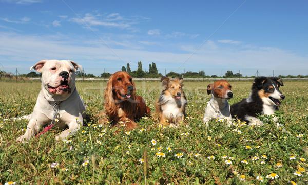 Cinquième chiens vers le bas domaine fleurs Photo stock © cynoclub