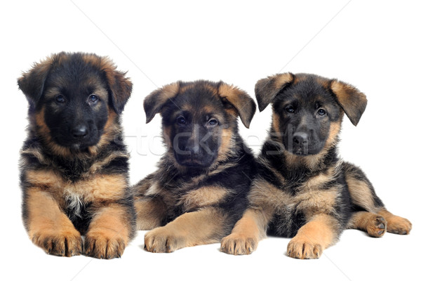 puppies german shepherds Stock photo © cynoclub