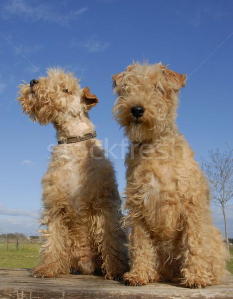два терьер таблице собака Fox Сток-фото © cynoclub