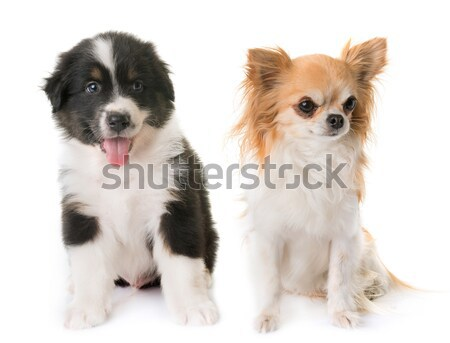 three chihuahuas Stock photo © cynoclub
