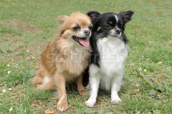 Stock photo: two chihuahuas