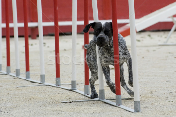 german shorthaired pointer in agility Stock photo © cynoclub