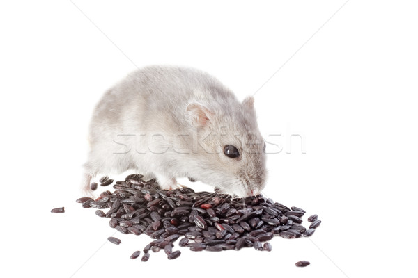 Djungarian hamster Stock photo © cynoclub