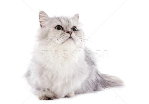 персидская кошка белый ребенка кошки голову женщины Сток-фото © cynoclub