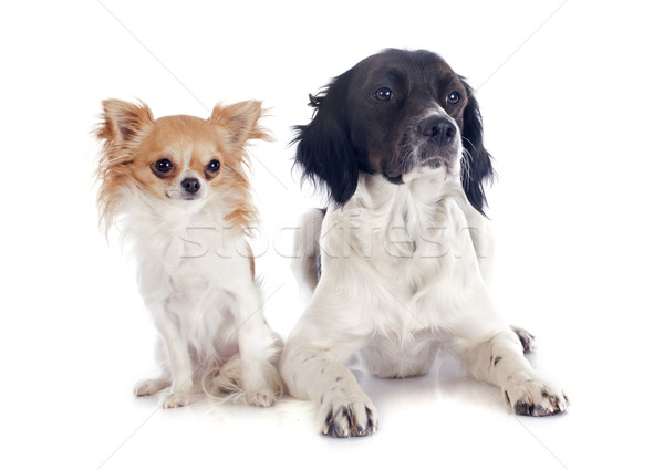 brittany spaniel and chihuahua Stock photo © cynoclub