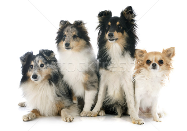 shetland dogs and chihuahua Stock photo © cynoclub