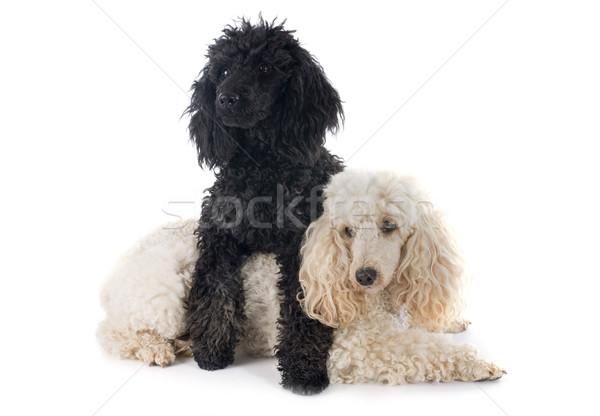 two poodles Stock photo © cynoclub