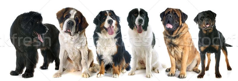 giant dogs Stock photo © cynoclub