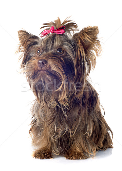 Chocolate yorkshire terrier blanco perro Foto stock © cynoclub