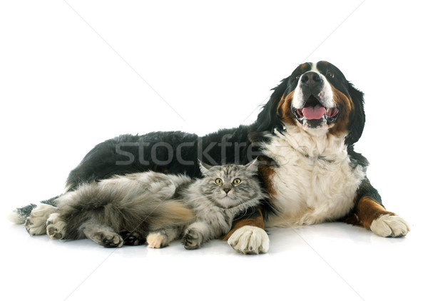 maine coon cat and bernese mountain dog Stock photo © cynoclub