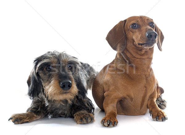 two young dachshunds Stock photo © cynoclub