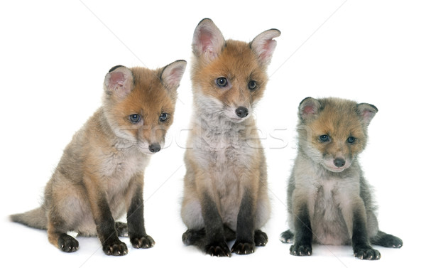 Trois Fox studio blanche groupe Photo stock © cynoclub