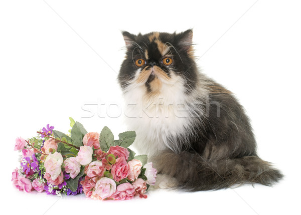 tricolor persian cat Stock photo © cynoclub