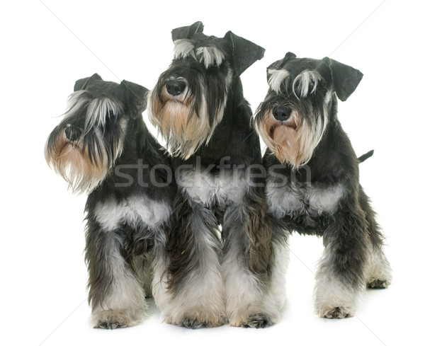 black and white miniature schnauzers Stock photo © cynoclub