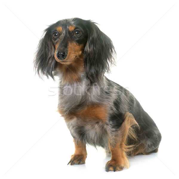 dachshund  in studio Stock photo © cynoclub