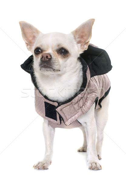 Foto stock: Estúdio · cão · diversão · preto · branco · animal · de · estimação
