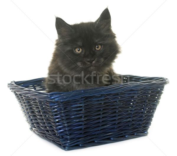 Maine kitten witte kat rook zwarte Stockfoto © cynoclub