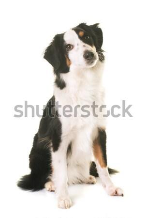 Miniatura amerykański pasterz biały psa kobiet Zdjęcia stock © cynoclub
