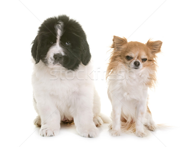 puppy newfoundland dog and chihuahua Stock photo © cynoclub