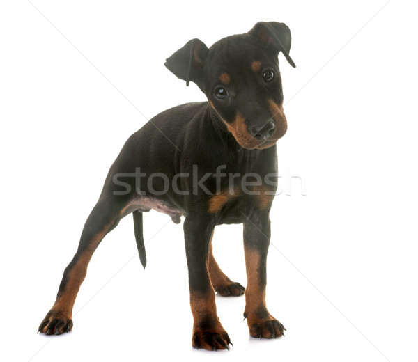 puppy manchester terrier Stock photo © cynoclub