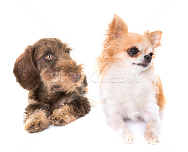 Stock photo: puppy Wire-haired Dachshund and chihuahua