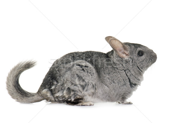 Chinchilla studio adulte blanche animaux fond blanc Photo stock © cynoclub