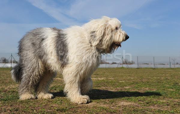 старые английский овчарка небе собака Сток-фото © cynoclub
