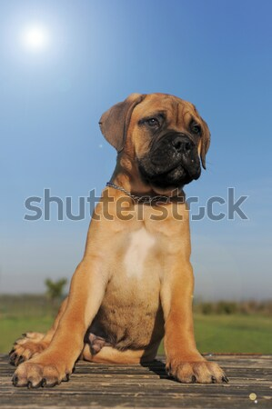 labrador retriever in agility Stock photo © cynoclub