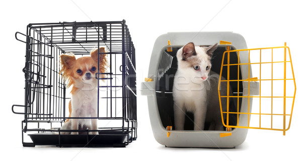 chihuahua and cat in kennel Stock photo © cynoclub