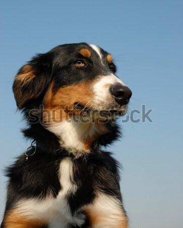 cavalier king charles Stock photo © cynoclub