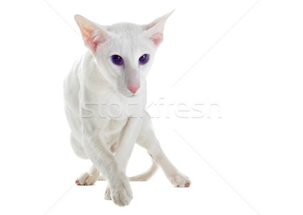 белый кошки портрет глазах ходьбе Сток-фото © cynoclub