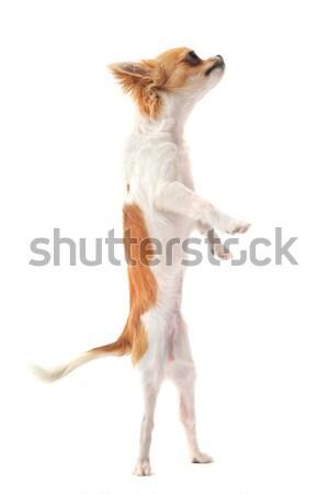 chihuahua upright Stock photo © cynoclub