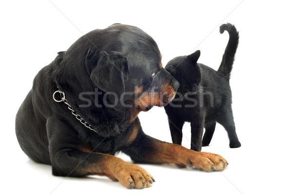 Rottweiler kedi portre Stok fotoğraf © cynoclub