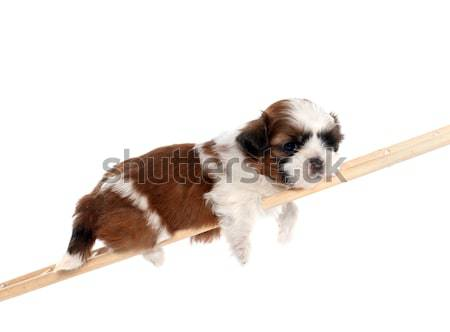 puppy bernese moutain dog Stock photo © cynoclub