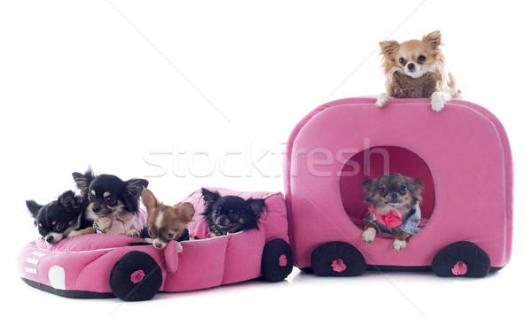 chihuahuas in car Stock photo © cynoclub