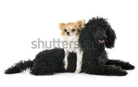 kerry blue terrier and chihuahua Stock photo © cynoclub