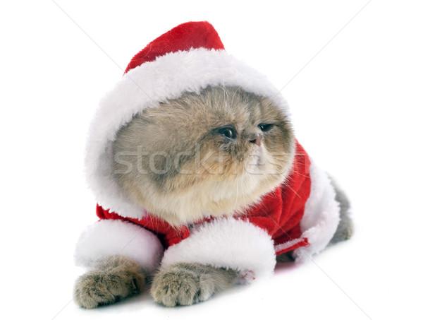 子猫 エキゾチック ショートヘア 猫 白 スタジオ ストックフォト © cynoclub